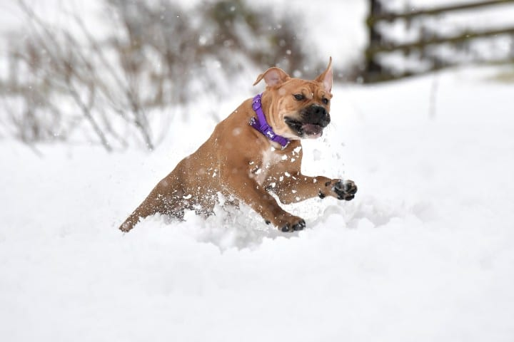 A Bullmastiff in the snow