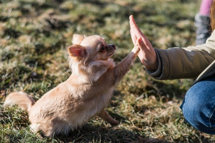 A chihuahua giving a high five