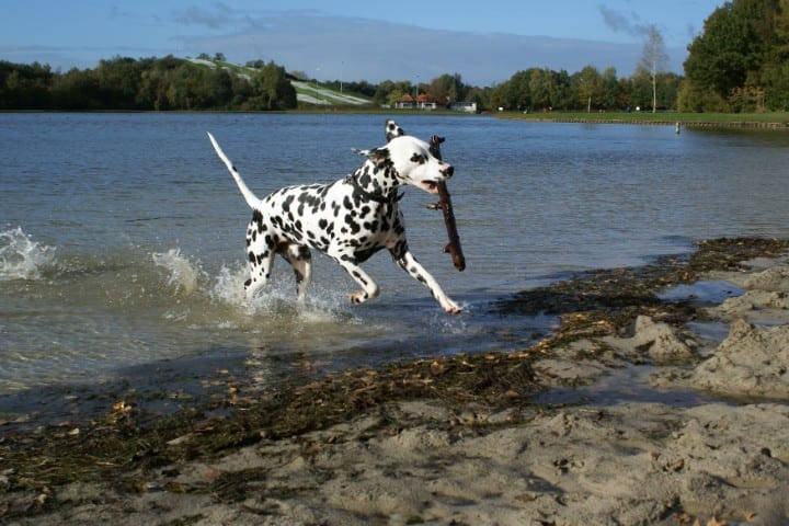 A Dalmatian in the water