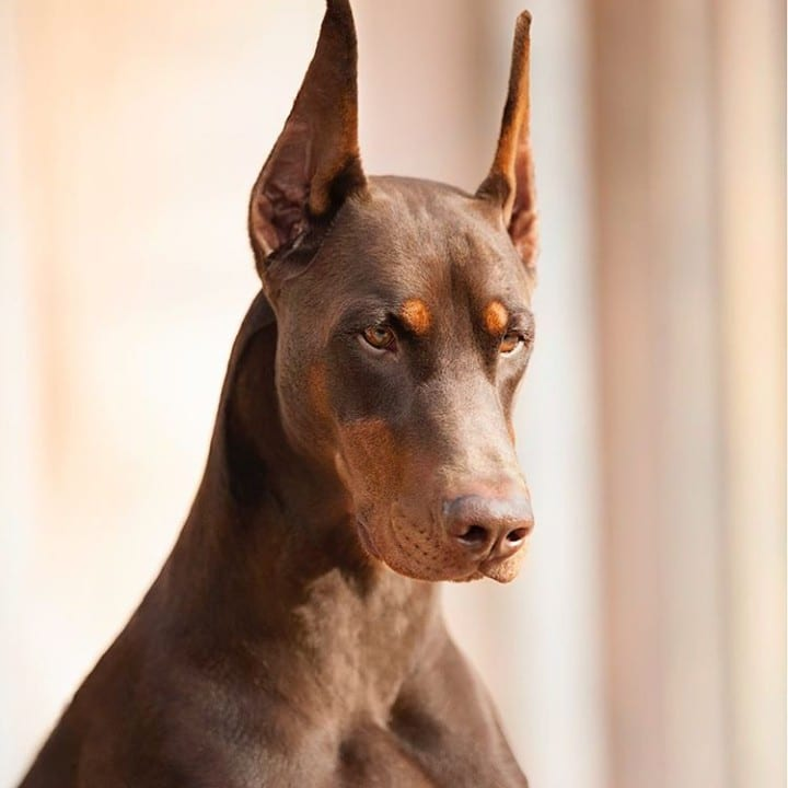 Doberman Pinscher looking majestic