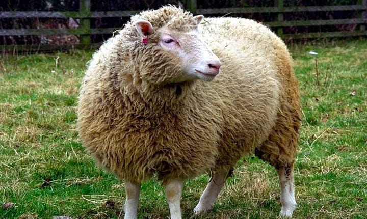 Just Because Dolly The Sheep Was A Clone, Doesn't Mean Her Early Death Was Related