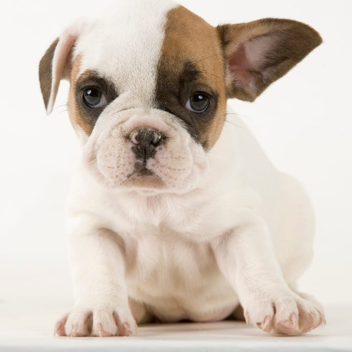 French bulldog, small dog, dog breeds for seniors