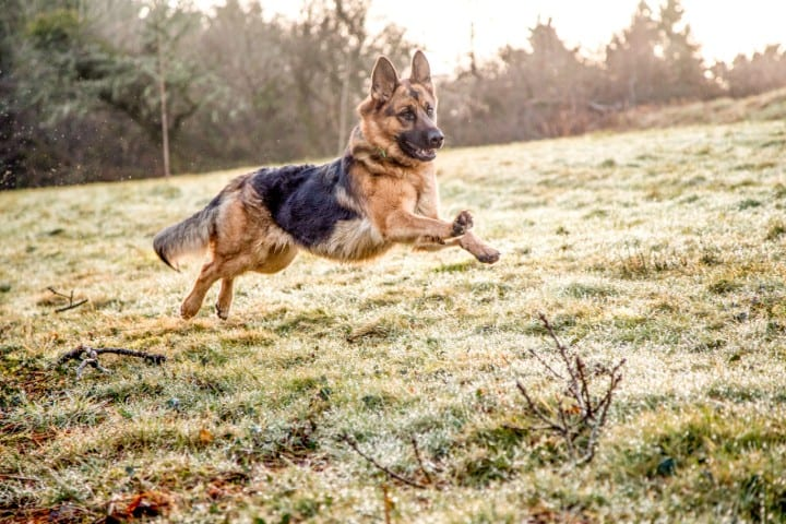A German Shepherd running in a field