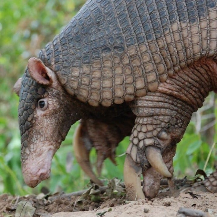 A giant armadillo close-up shot