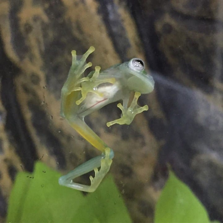 A glass frog in its habitat