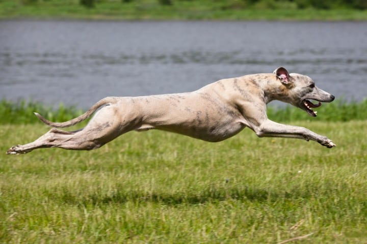 A Greyhound, racing towards something