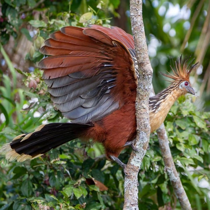A hoatzin with its wings outstretched