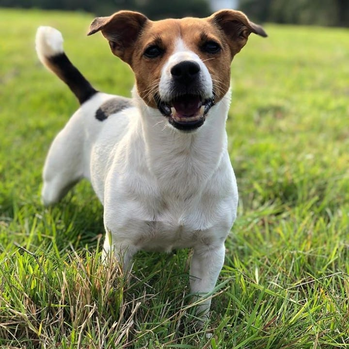 A Jack Russell Terrier enjoying the day