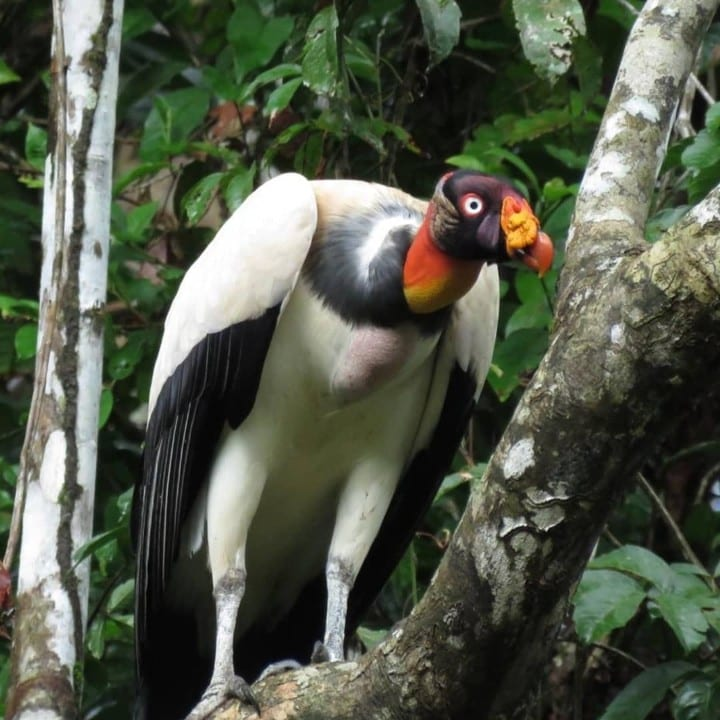 A king vulture on a tree branch