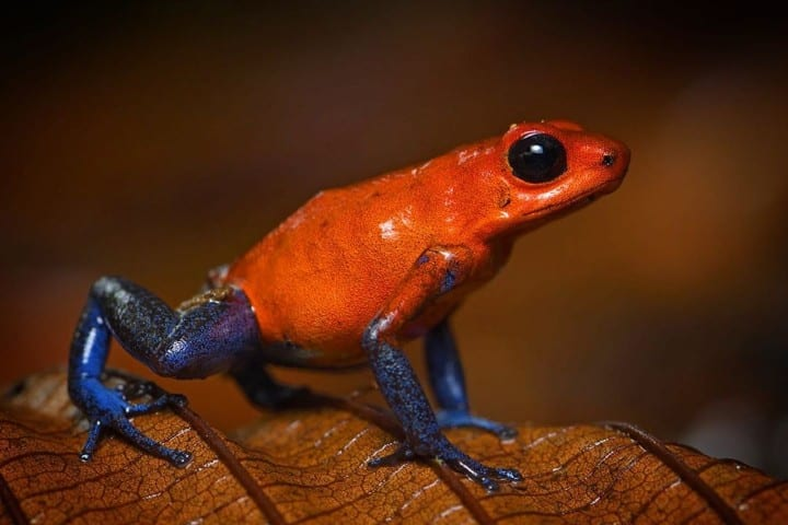 A red poison dart frog