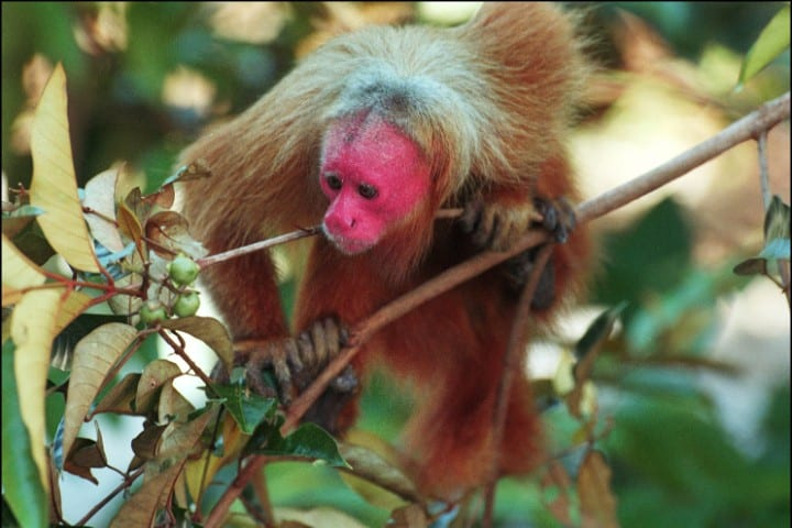 A red uakari in the amazon