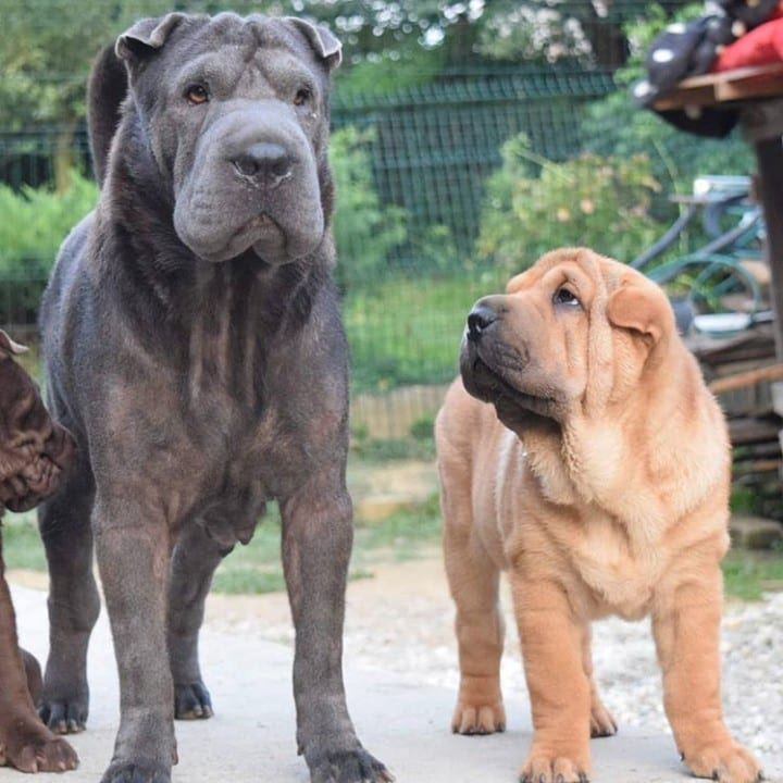 Shar Peis of different ages