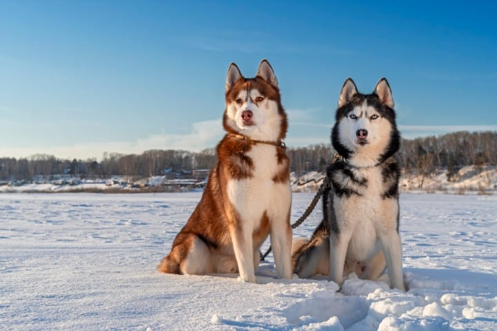 A couple of Siberian Huskies