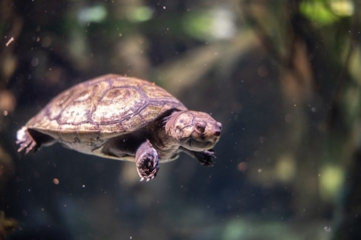A swimming South American river turtle