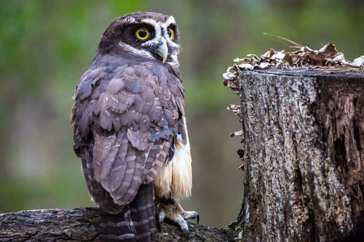 A spectacled owl next to a stump