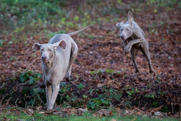 A couple of Weimaraner dogs