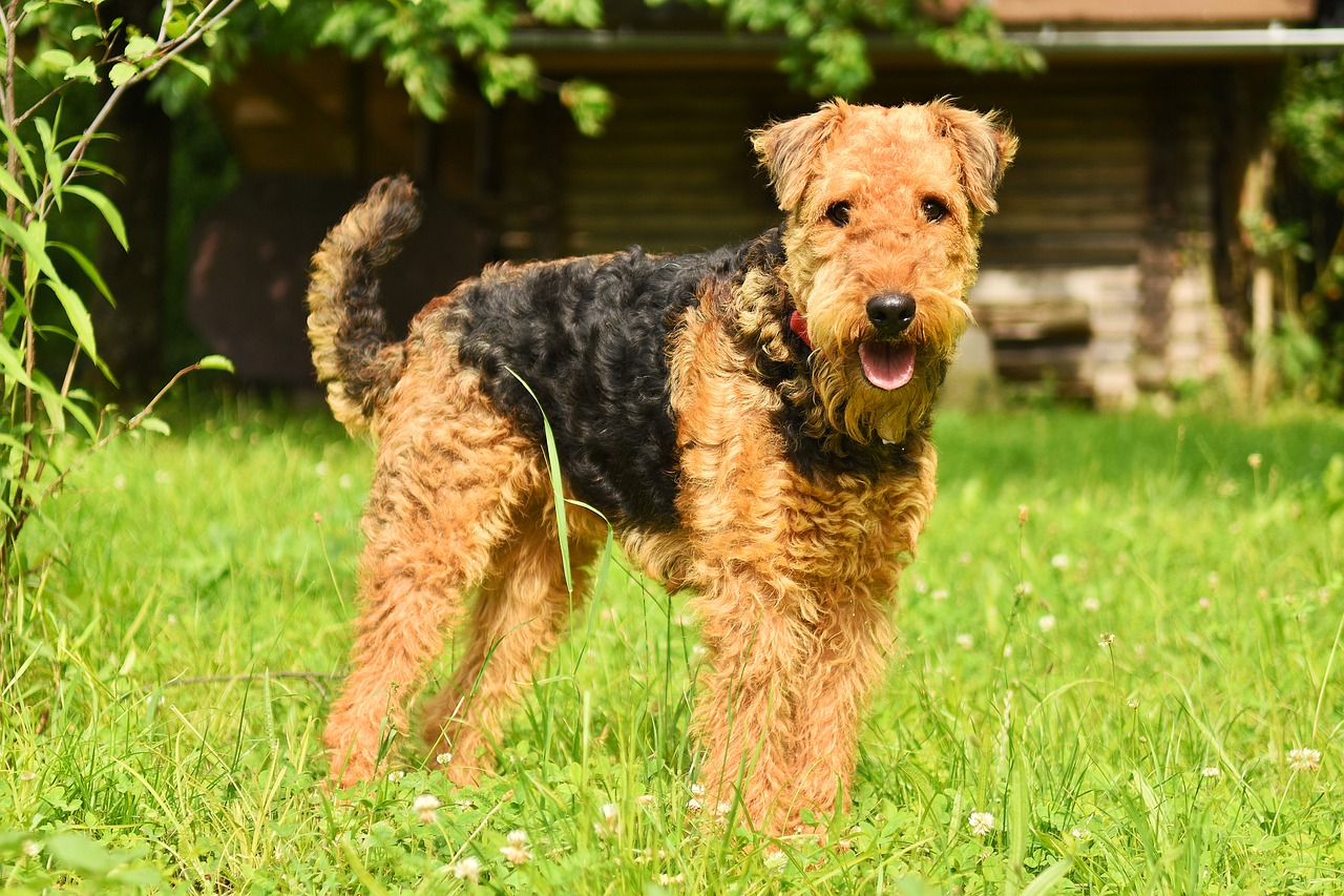 an airendale terrier in the grass