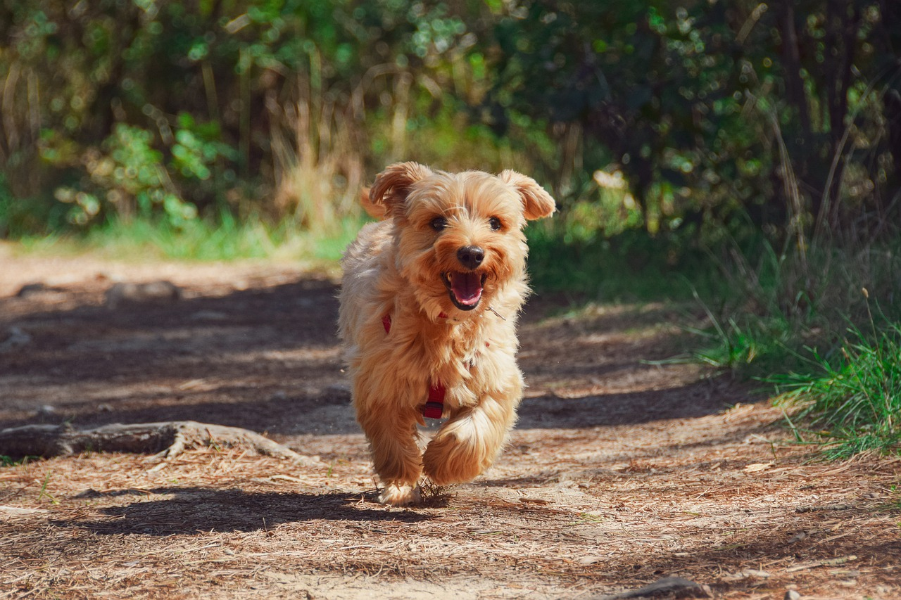 Yorkshire Terrier puppy excitedly running over