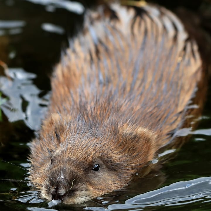 Beaver, swimming beaver, approaching rodent