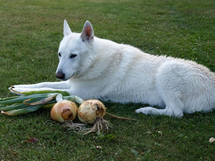 Dog with onions toxic to pets
