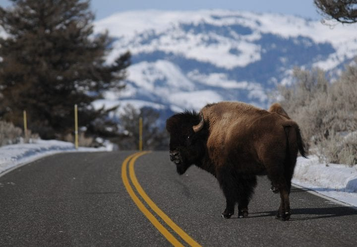 YELLOWSTONE NATIONAL PARK, MT - MARCH 5:A bison looks back as it crosses the road near Lamar Valley in Yellowstone National Park. (Photo by Erik Petersen/For The Washington Post via Getty Images)