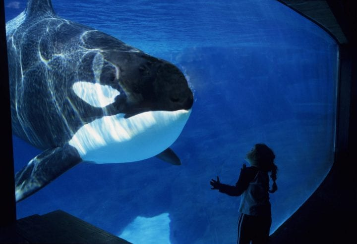 SEA WORLD, SAN DIEGO, CALIFORNIA, UNITED STATES - 2005/01/01: USA, California, San Diego, Sea World, Killer Whale (orca) Underwater, Girl, 2006. (Photo by Wolfgang Kaehler/LightRocket via Getty Images)