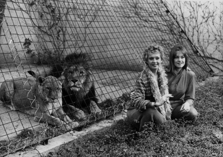 Actress Tippi Hedren and her actress daughter Melanie Griffith posing with the lions at London Zoo, to promote the movie 'Roar', March 29th 1982. (Photo by Central Press/Hulton Archive/Getty Images)