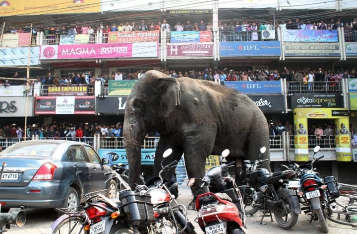 Indian bystanders watch as a wild elephant walks along a busy street in Siliguri on February 10, 2016. The adult male elephant was tranquilised and captured by wildlife officials and transported to a nearby forest. AFP PHOTO / Diptendu DUTTA / AFP / DIPTENDU DUTTA (Photo credit should read DIPTENDU DUTTA/AFP/Getty Images)