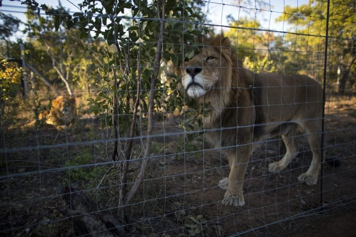 VAALWATER, SOUTH AFRICA - MAY 02: Two of the 33 Lions enjoys his new enclosure at the Emoya 'Big Cat Sanctuary' on May 02, 2016 in Vaalwater, South Africa. A total of 33 former circus Lions, 22 males and 11 females from Peru and Columbia were airlifted to South Africa on April 30, before being released yesterday to live out their lives on the private reserve in the Limpopo Province. 24 of the animals were rescued in raids on circuses operating in Peru, with the rest voluntarily surrendered by a circus in Colombia after Colombias Congress passed a bill prohibiting circuses from using wild animals. The trip has been coordinated by the animal rights group 'Animal Defenders International. The animals have been released into small open areas with natural vegetation, something that many of the animals have never experienced before. (Photo by Dan Kitwood/Getty Images)