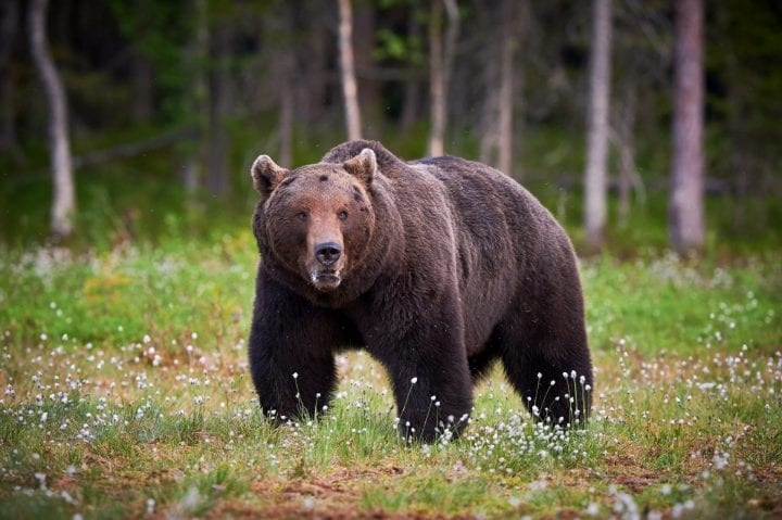 Big male brown bear walking in Finnish taiga meanwhile looks around