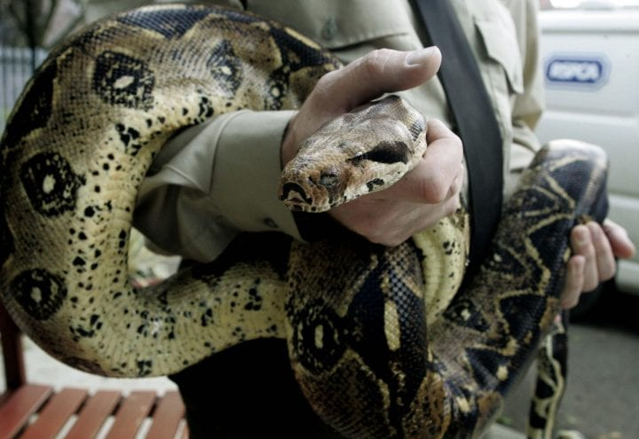 Keith, a 10-foot-long boa constrictor, at an RSPCA rescue centre in Manchester following it's recovery after it had crawled out of a flat toilet in the Didsbury area of the city, Monday October 17, 2005. PRESS ASSOCIATION Photo. Photo credit should read: Phil Noble/PA (Photo by Phil Noble - PA Images/PA Images via Getty Images)