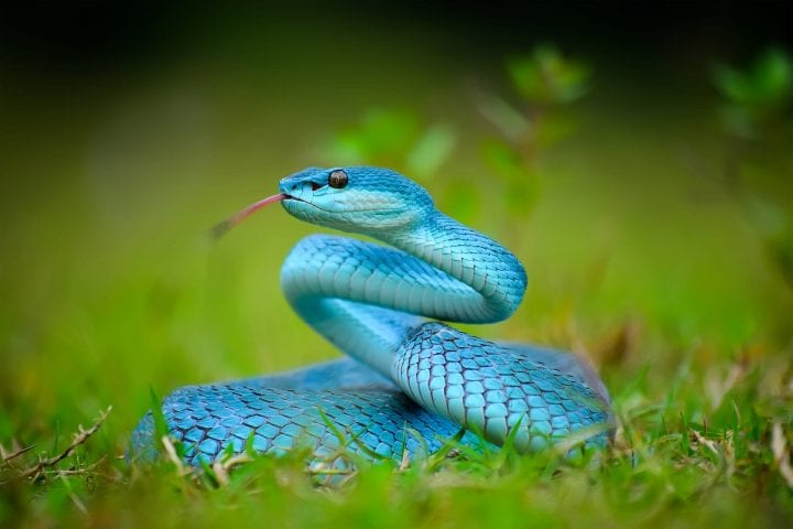 This snake inhabits the forest at an altitude of up to 880m above sea level. Active at night, especially found in trees up to a height of 15m above ground. Prey on frogs, rats, lizards and lizards.