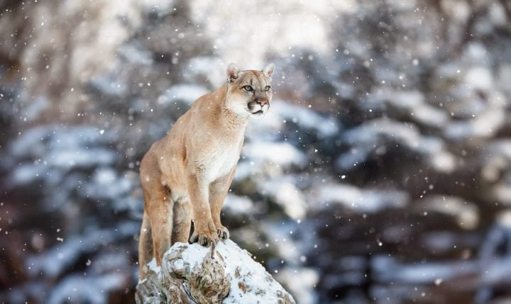 Portrait of a cougar in the snow, Winter scene in the woods, wildlife America, mountain lion, puma, panther, striking a pose on a fallen tree, Winter scene in the woods