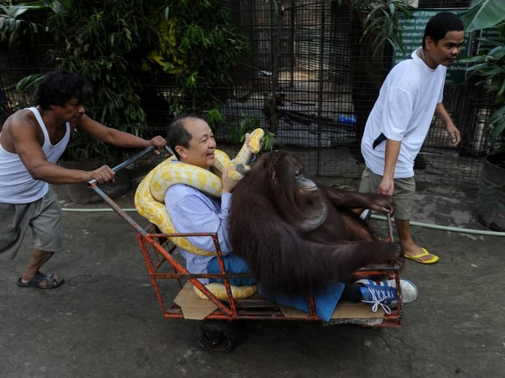 Pet orangutan exotic weird
