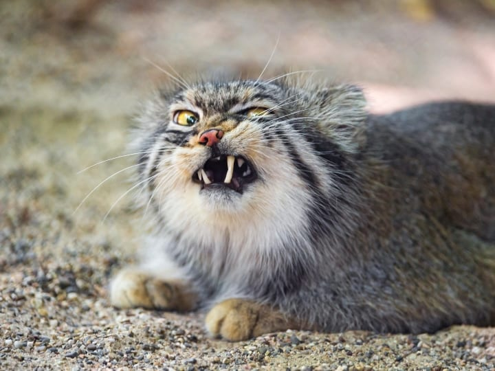 Now, a next Pallas cat picture (we only saw one), with a very funny expression but also typical for these felines!
