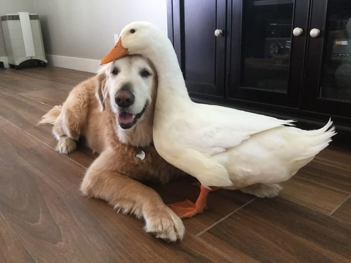 Pet duck weird and dog