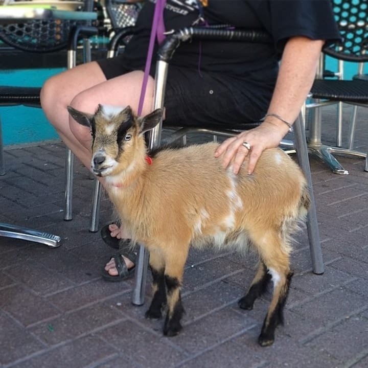 Pet goat weird exotic