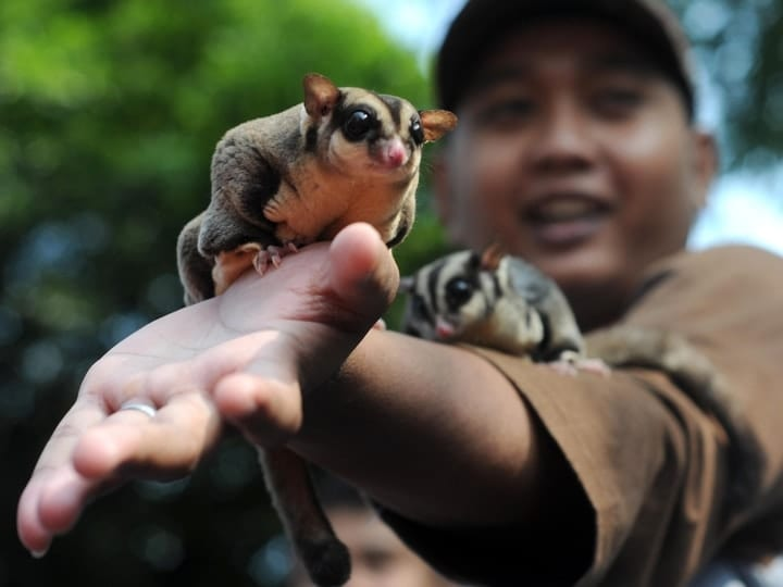Sugar glider exotic weird pet