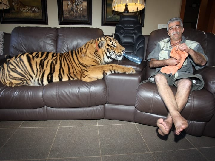 Weird exotic pet tiger