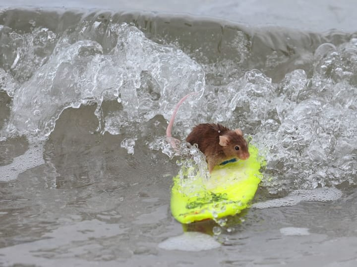 Surfing mouse weird pet