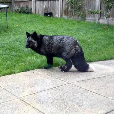 fox in the backyard, tile, yard, silver fox