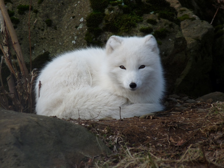 Arctic fox, hunter, small ears, white fox