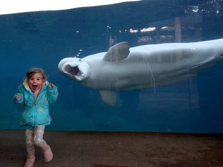 A young girls reacts as she is greeted by Juno, a fifteen year old male Beluga Whale, at the viewing window at Mystic Aquarium. Juno is one of two Beluga Whales at Mystic Aquarium, Mystic, Connecticut. November 28th, 2017