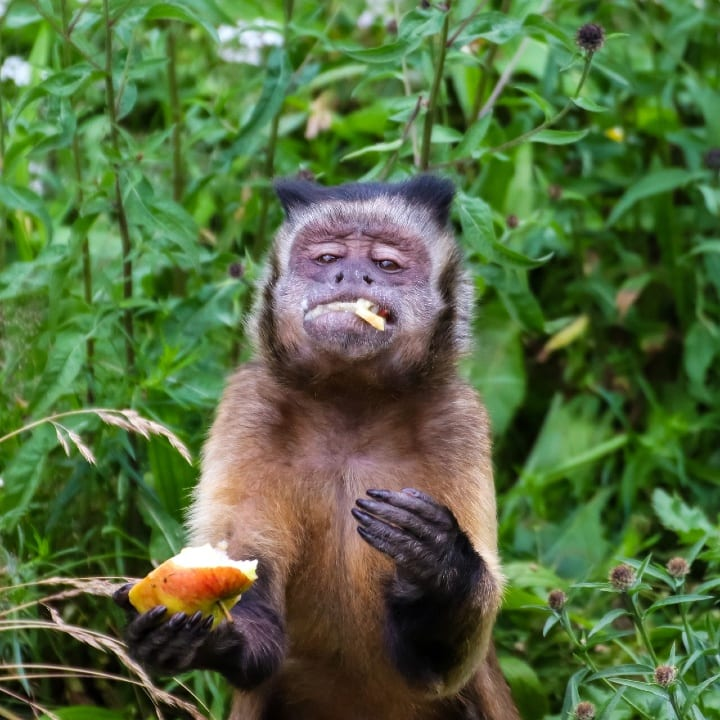 capuchin, monkey, peru, eating an apple