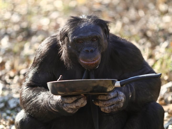 Kanzi, 31, eats from the pan on November 11, 2011 in Des Moines, Iowa. It was a pivotal moment in history that separated man from other primates. Over a million years ago humankind began to conquer its fear of fire and use it as a tool. But now one special ape - a 31-year-old bonobo chimpanzee called Kanzi at the Great Ape Trust in Des Moines, Iowa - is showing us just how close we really are. Astonishingly the male chimp's favourite things to do is make campfires. With impressive dexterity 12 stone (170lb) Kanzi collects firewood and breaks it into appropriate sizes. He arranges the sticks in a pile, ignites them with matches or a lighter, and then watches the flames take hold. Then Kanzi erects a grill over his fire so he can cook burgers and marshmallows over it, using a frying pan. According to Dr Sue Savage-Rumbaugh, his main handler and the only scientist ever to conduct language research with bonobos, he does it all because it fascinates him. Watching Kanzi make fire is particularly interesting to scientists at the facility - a world-class research centre dedicated to studying the behaviour and intelligence of great apes - because they are investigating the big cultural events that led to differences between humans and other primates. Because we share 99.5% genes with bonobos - our closest relatives - Dr Savage-Rumbaugh argues our differences are mainly cultural