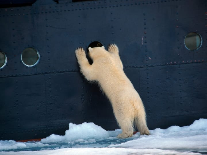 Curious Polar bear (Ursus maritimus) standing upright and looking through porthole into ship, Svalbard, Spitsbergen, Norway.