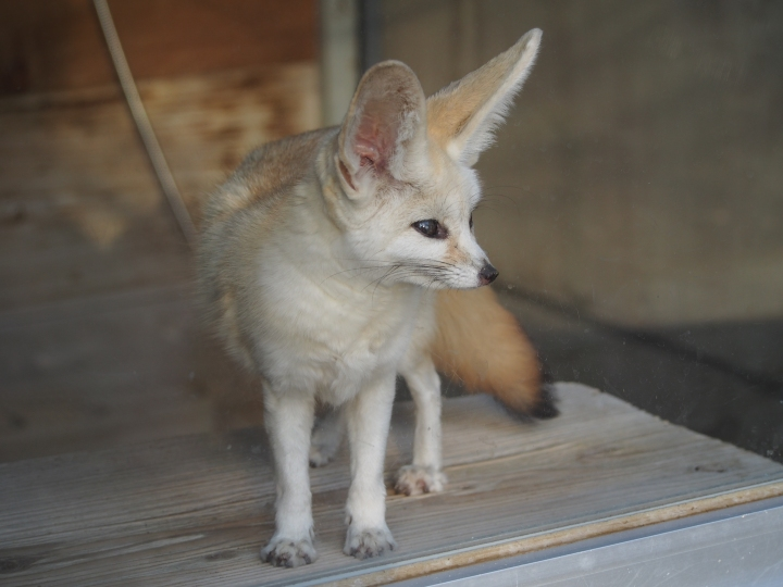 Fennec fox, sahara, big ears