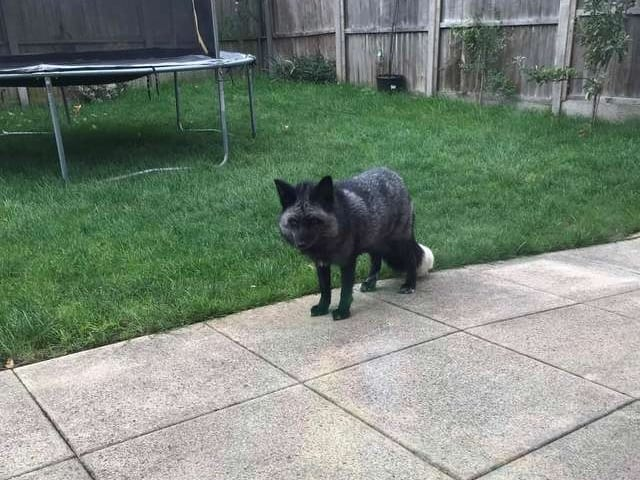 strange animal, animal in the backyard, what is it