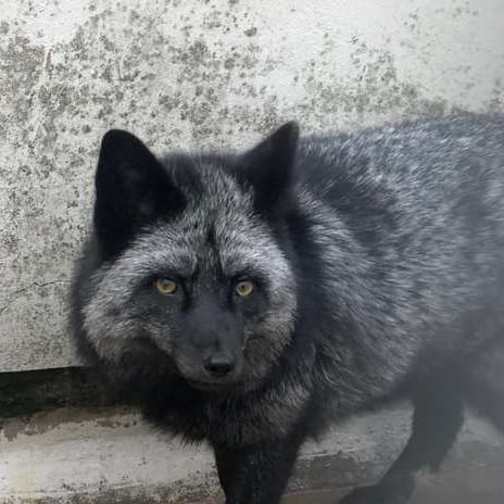 closeup of fox by wall, silver fox, captured animal