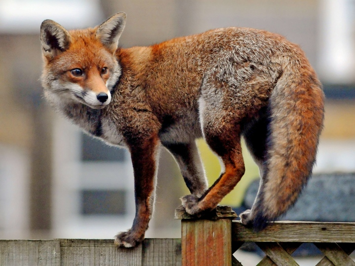 fox on a fence, red fox, mythical fox